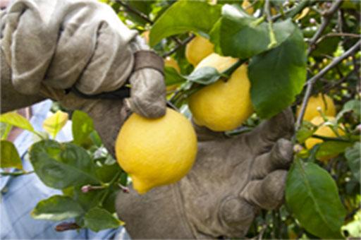 Citron de Syracuse IGP